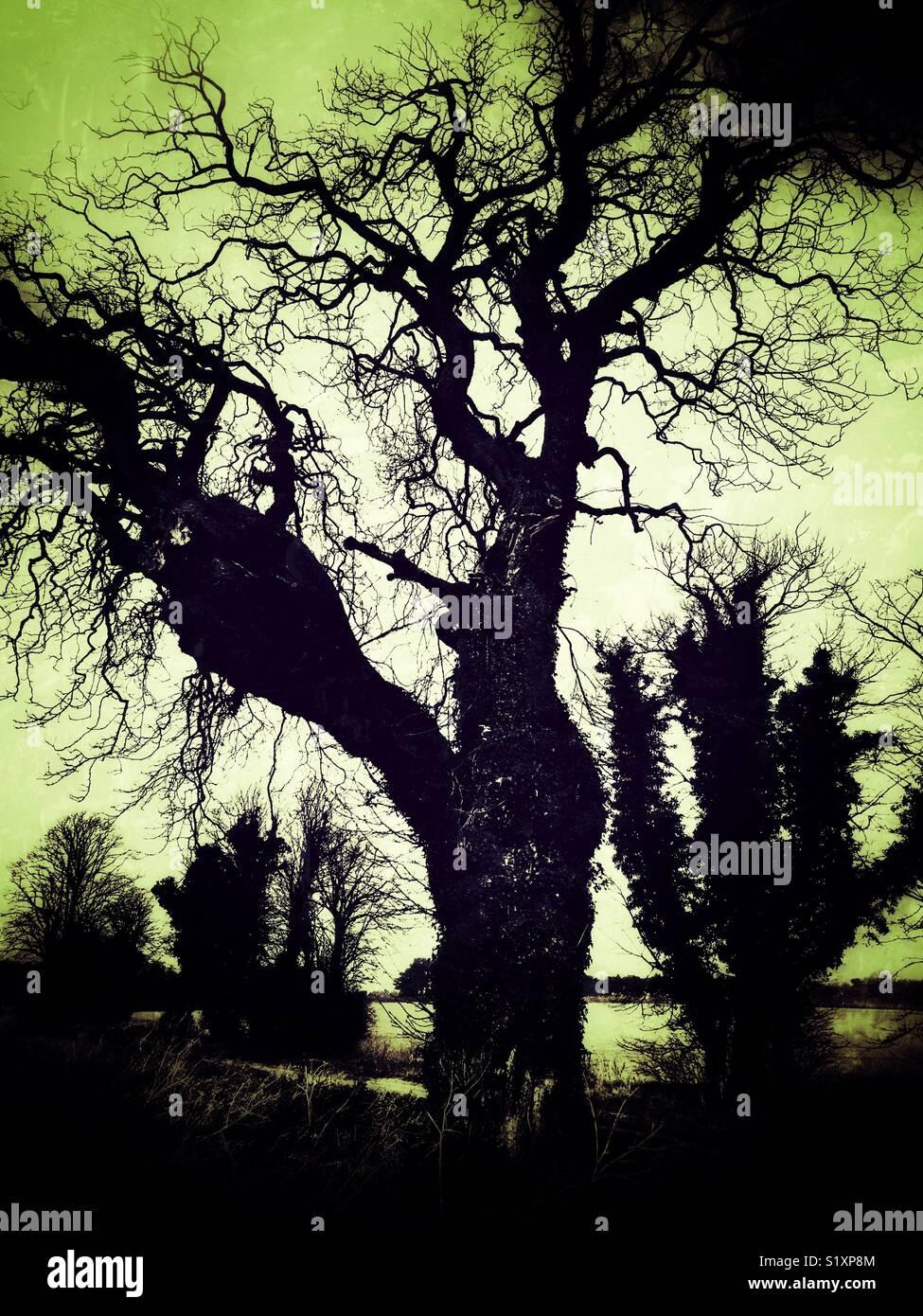 Spooky alberi Ramsholt Suffolk in Inghilterra Immagini Stock