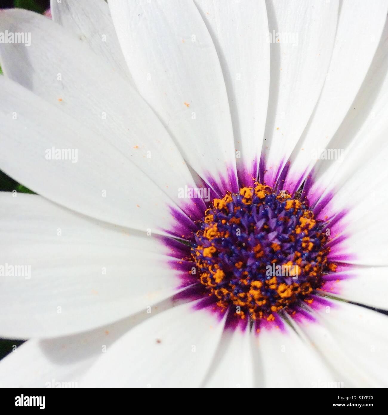 Close up fiore bianco Immagini Stock