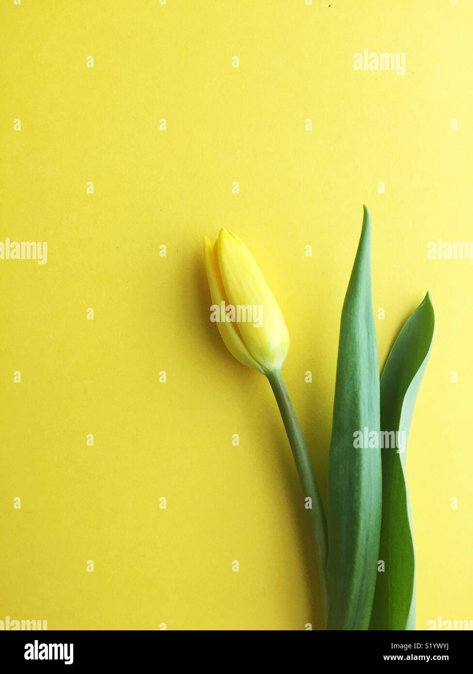 Un unico tulipano giallo. Immagini Stock