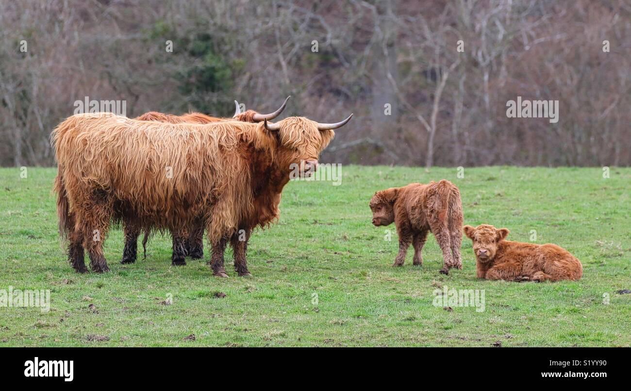 Longhorn vacche con vitello Immagini Stock