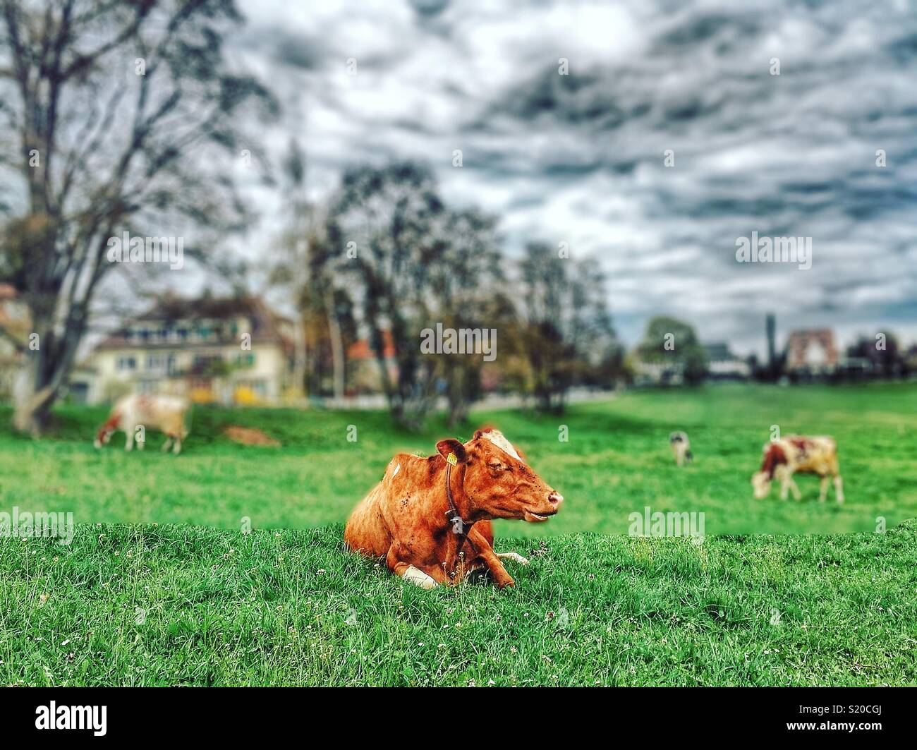 Mucche in un campo Immagini Stock