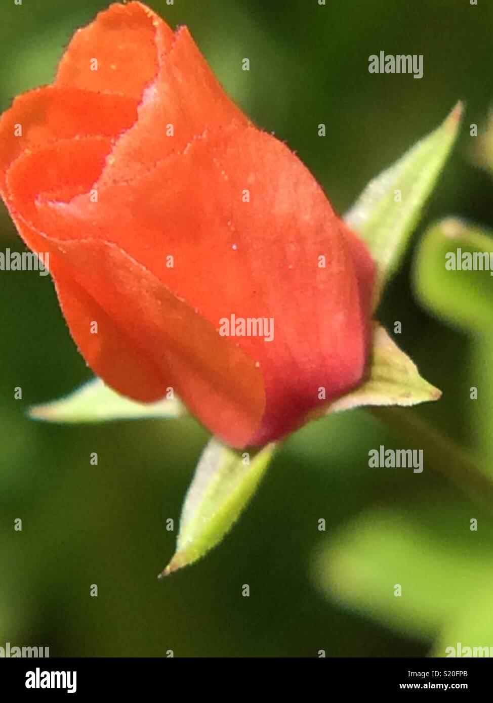 Foto tomada en la Montaña, es onu especie de flor muy pequeña que crece a la orilla del camino, la vereda. Nace después de las últimas lluvias, su colore anaranjado verdaderamente es muy encendido. Immagini Stock