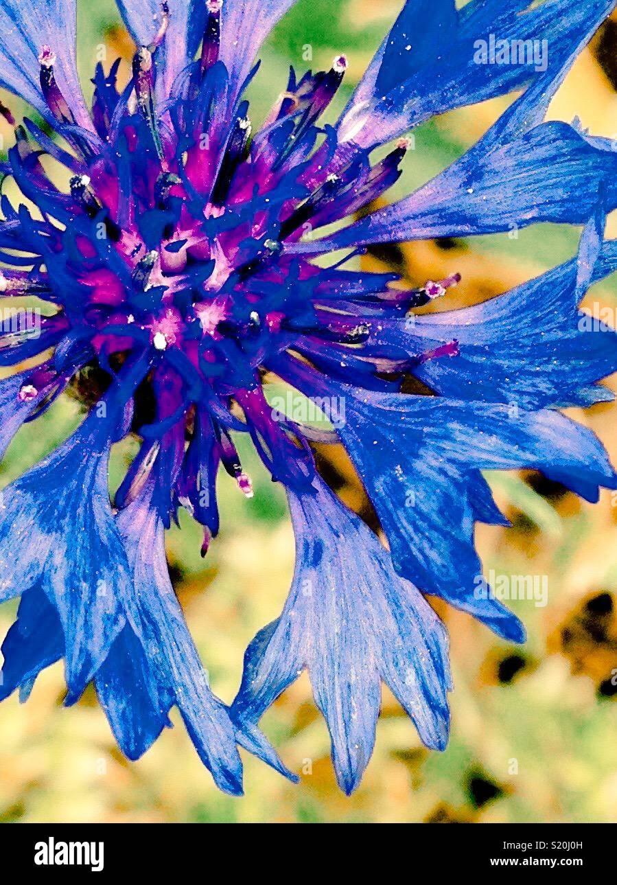 Luminose Bachelor del pulsante fioritura da vista superiore Immagini Stock