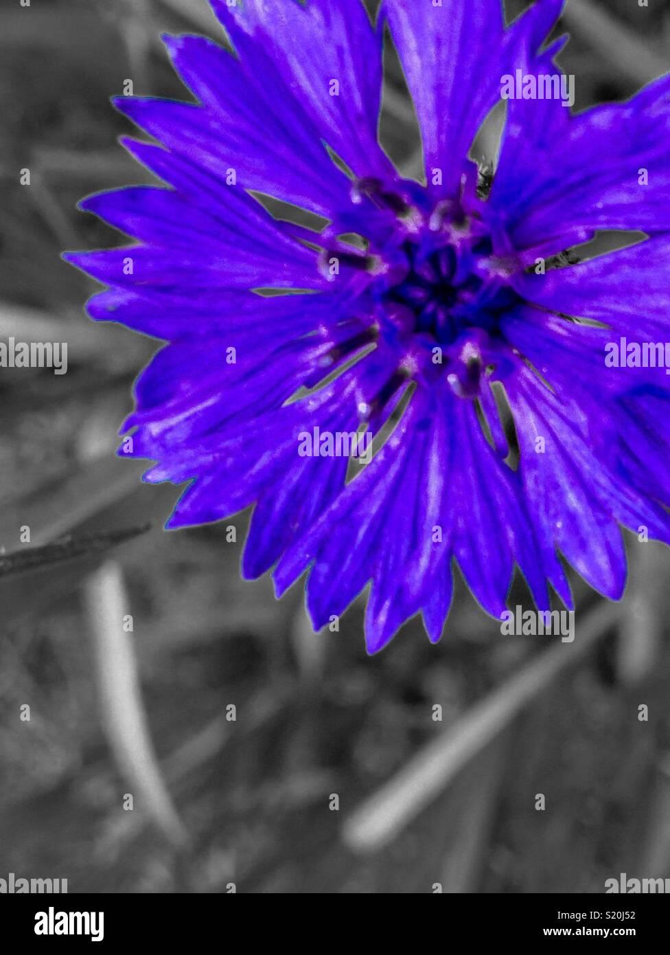 Colorpop blu laurea pulsante dal tettuccio Immagini Stock
