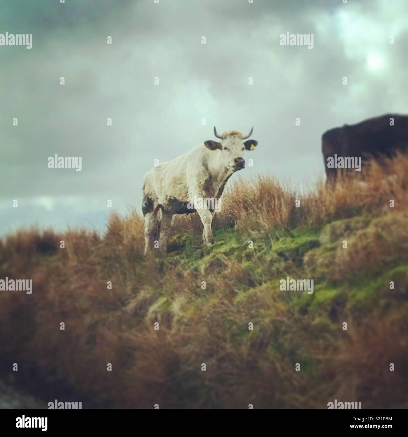Le mucche in campagna. Immagini Stock