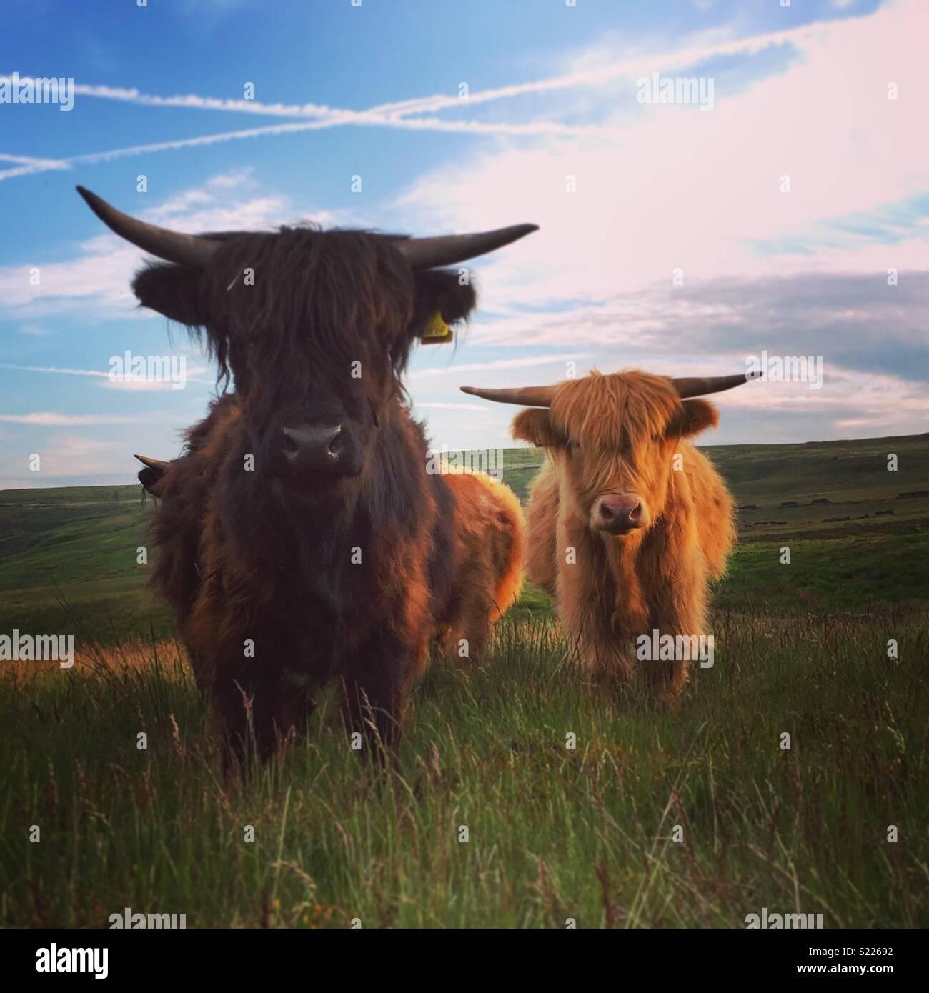 Yorkshire Highland bovini Immagini Stock