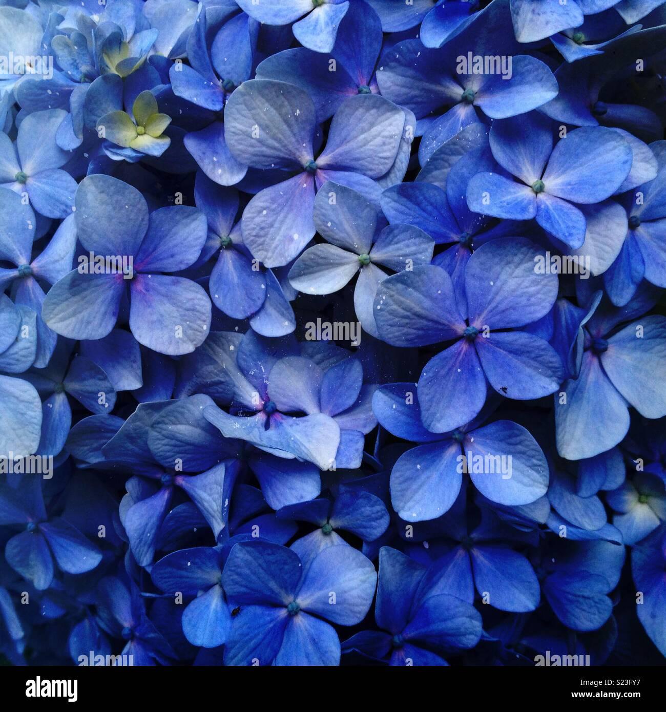 Primo piano di una blu hortensia fiore, ortensie Foto Stock