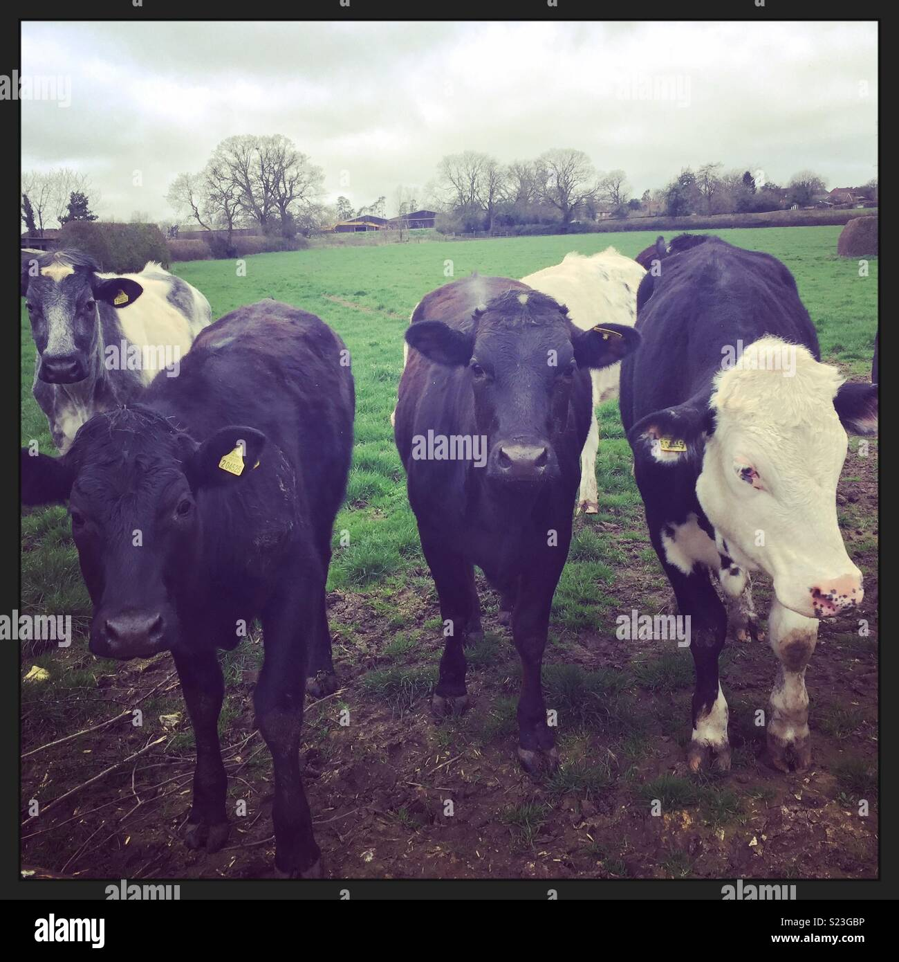 Vacche che blocca il percorso Immagini Stock