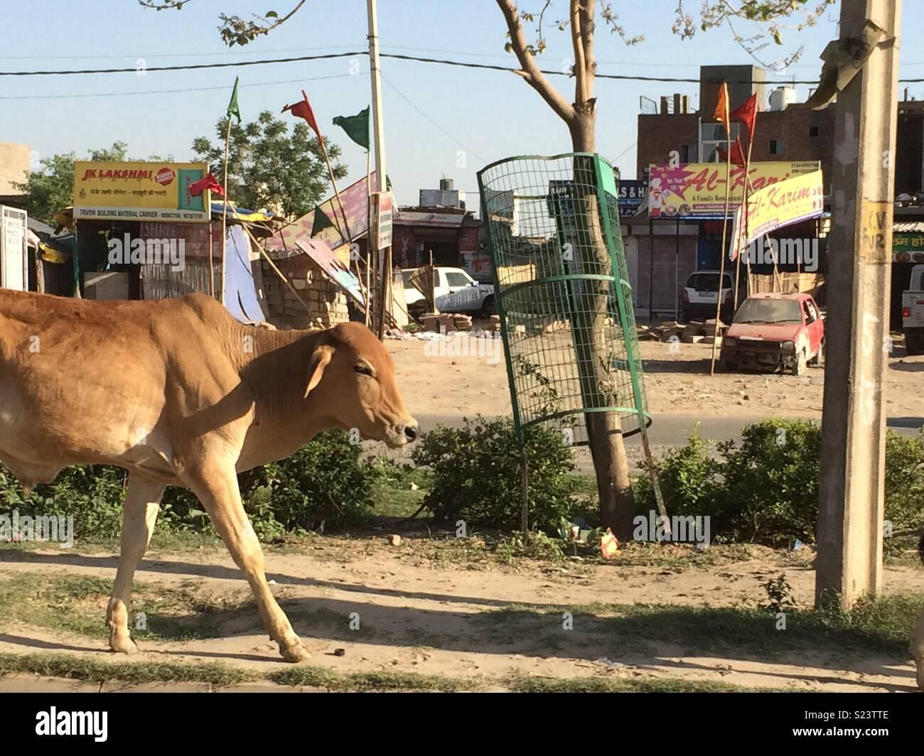 Una vacca a piedi giù per una strada indiana Immagini Stock