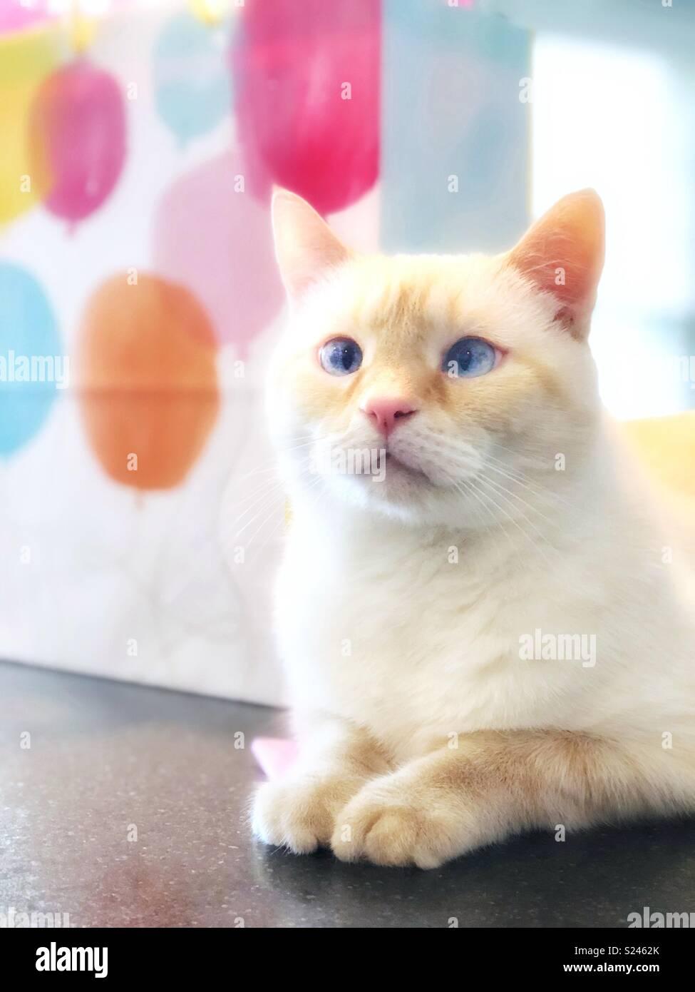 Una Immagine Da Sogno Di Un Bianco Flamepoint Gatto Siamese Gatto