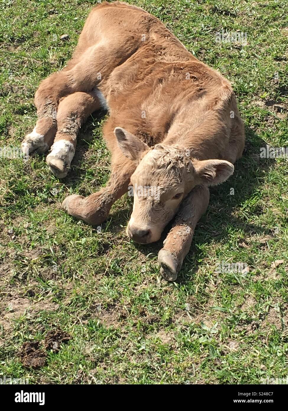 Di vitello neonato per prendere il sole Immagini Stock