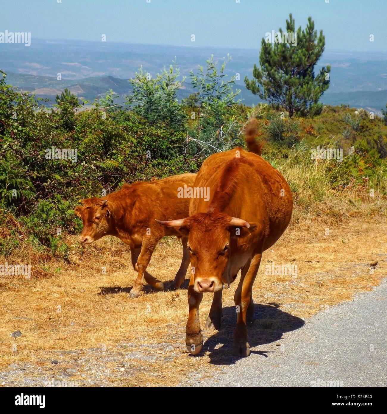 Bull pronto per la ricarica Immagini Stock