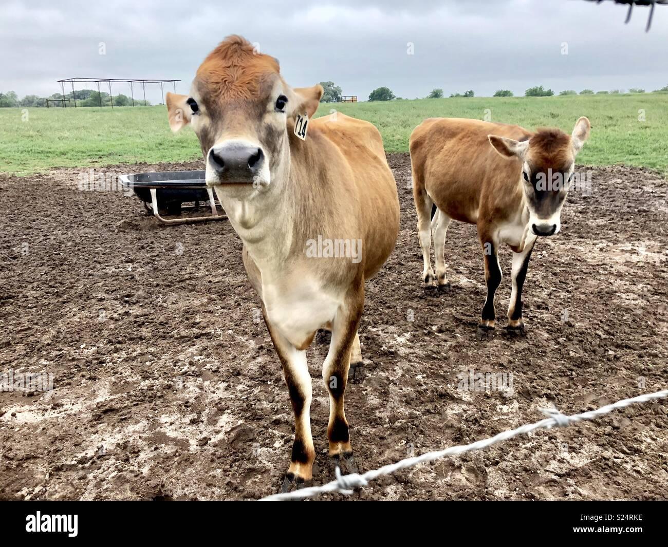 Mucche della Jersey Immagini Stock