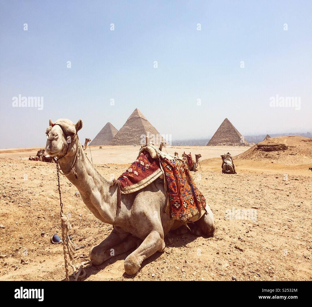 Un cammello contenuto catturato in Cairo. Immagini Stock