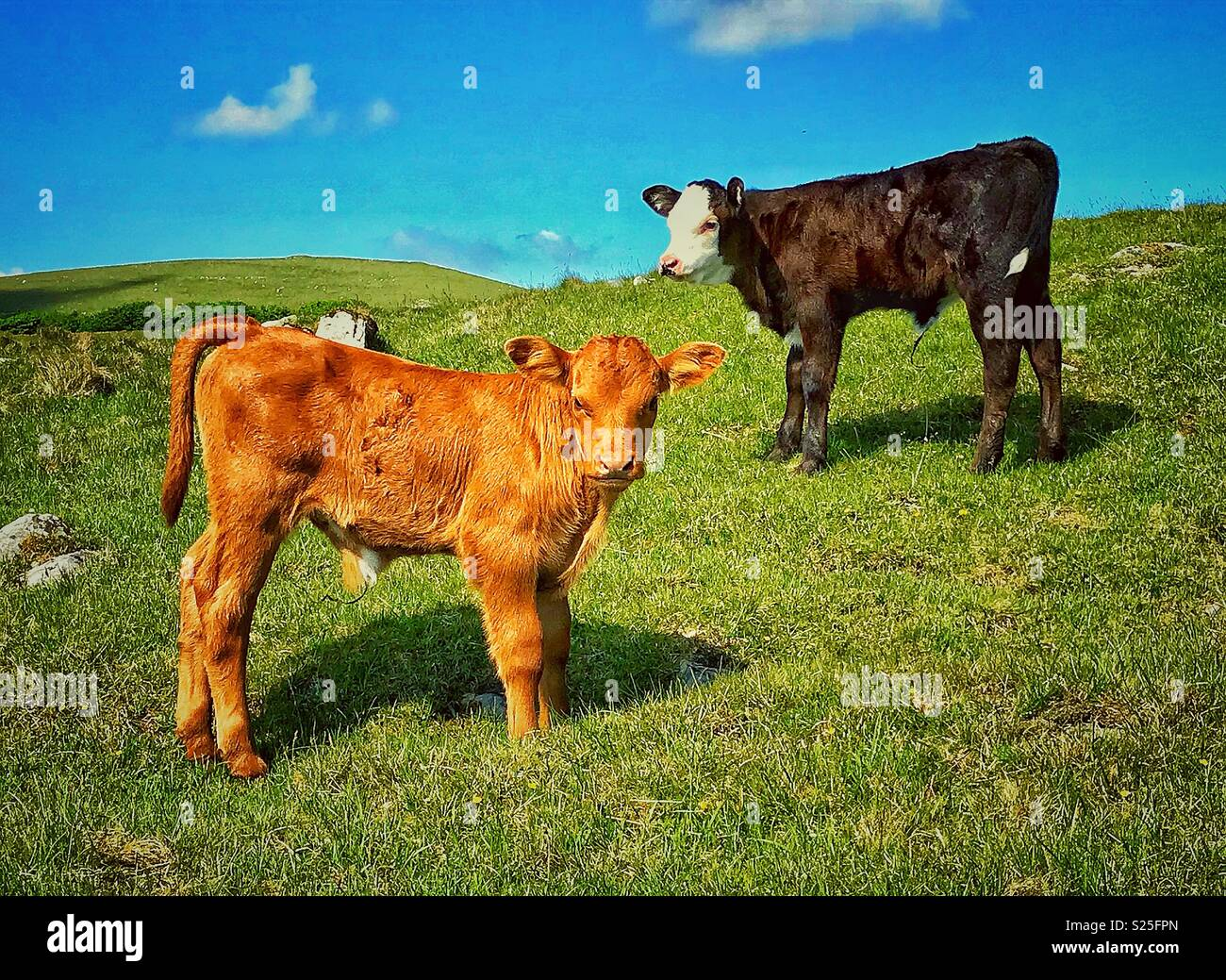 Curioso mucche Immagini Stock