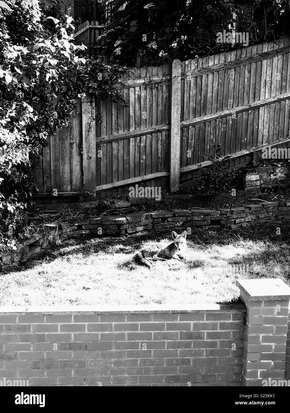 Urban Fox in bianco e nero e ambiente Immagini Stock