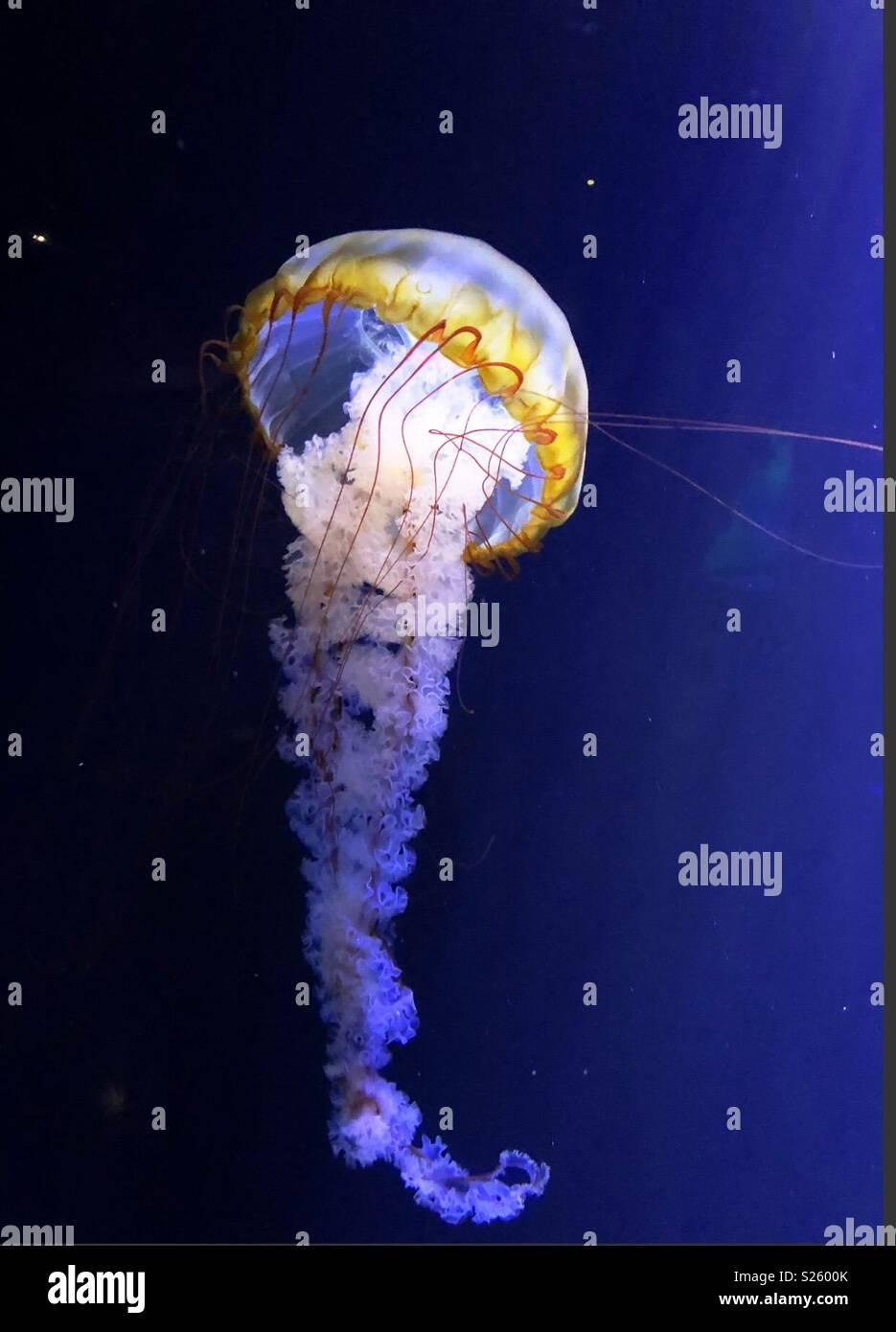 Jelly Fish, il profondo, Hull Immagini Stock