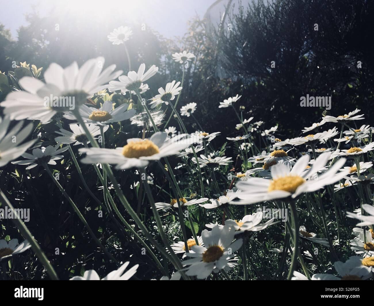 Sunshine& fiori Immagini Stock