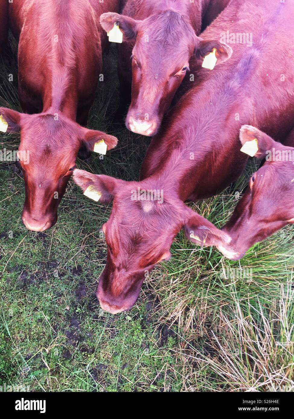 Una veduta aerea di un allevamento di bestiame bovino o marrone vacche in un campo Immagini Stock