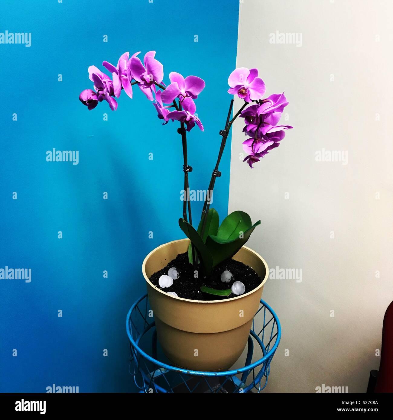 Orchidea viola nell'angolo ufficio con una parete di turchese. Foto Stock