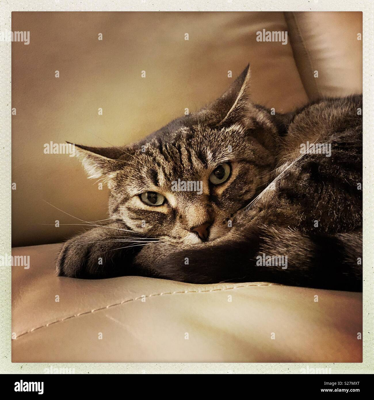 Gatto Divano Pelle.La Mia Tabby Mix Bengala Gatto Sul Divano In Pelle Cercando