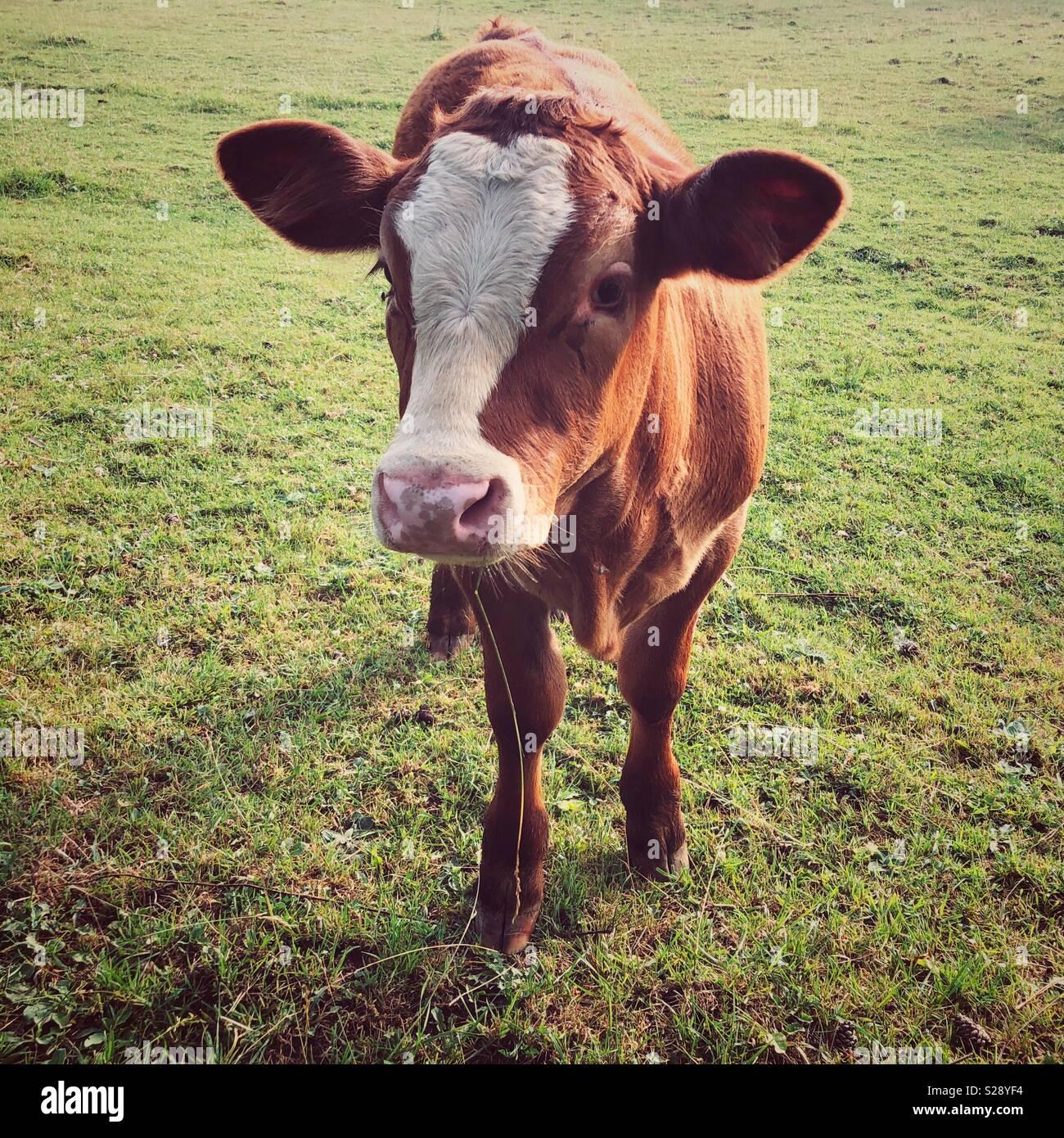 Marrone e bianco vitello in un campo al tramonto guardando la telecamera Immagini Stock