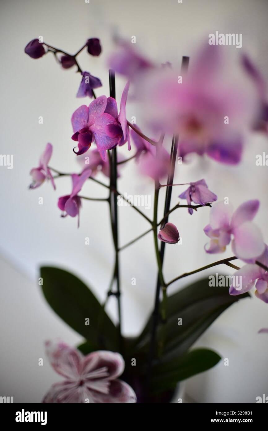Orchidea Foto Stock