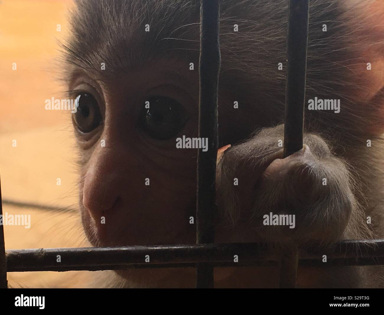 Caged baby monkey Immagini Stock