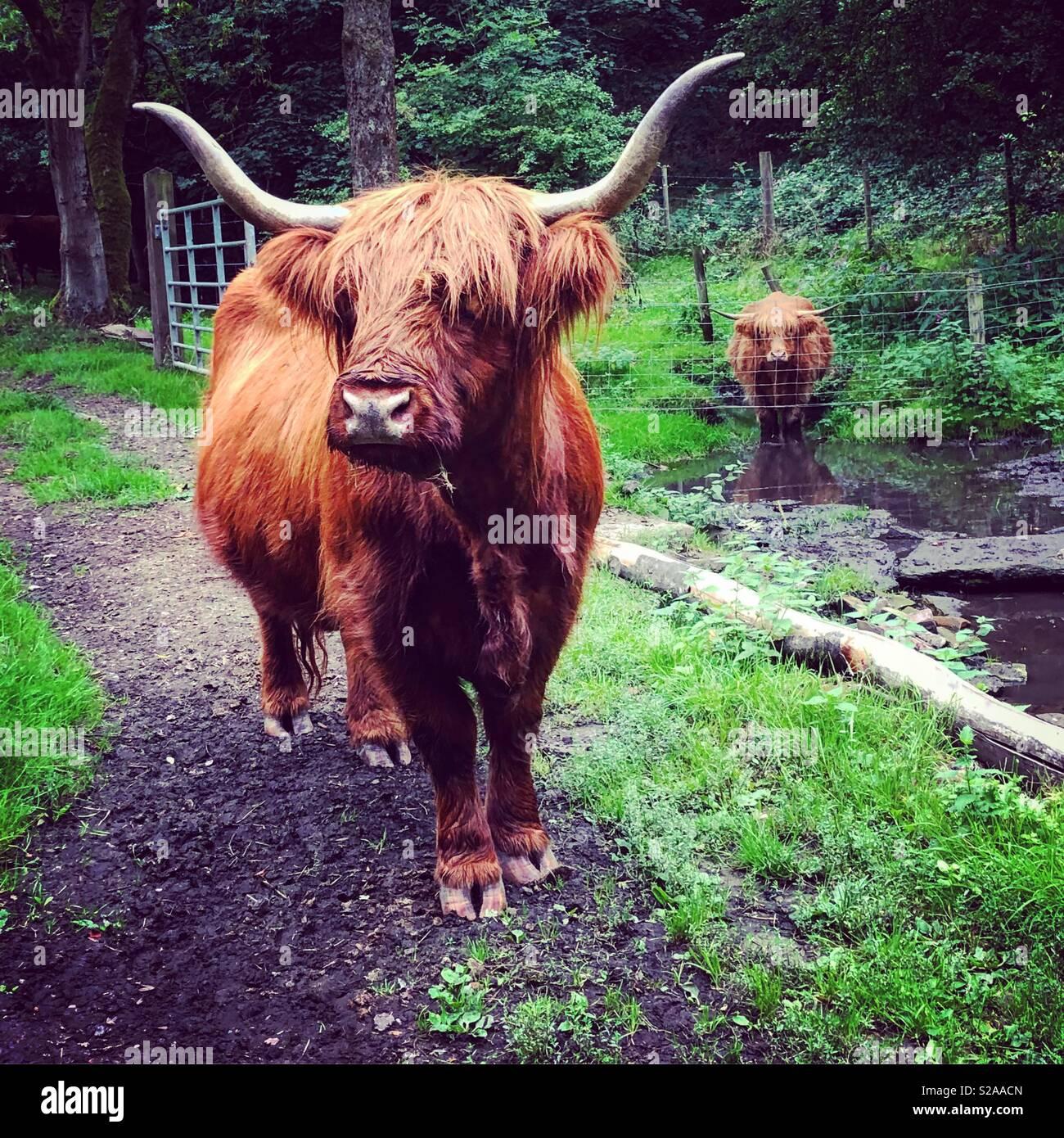 Mucche dell'altopiano Immagini Stock