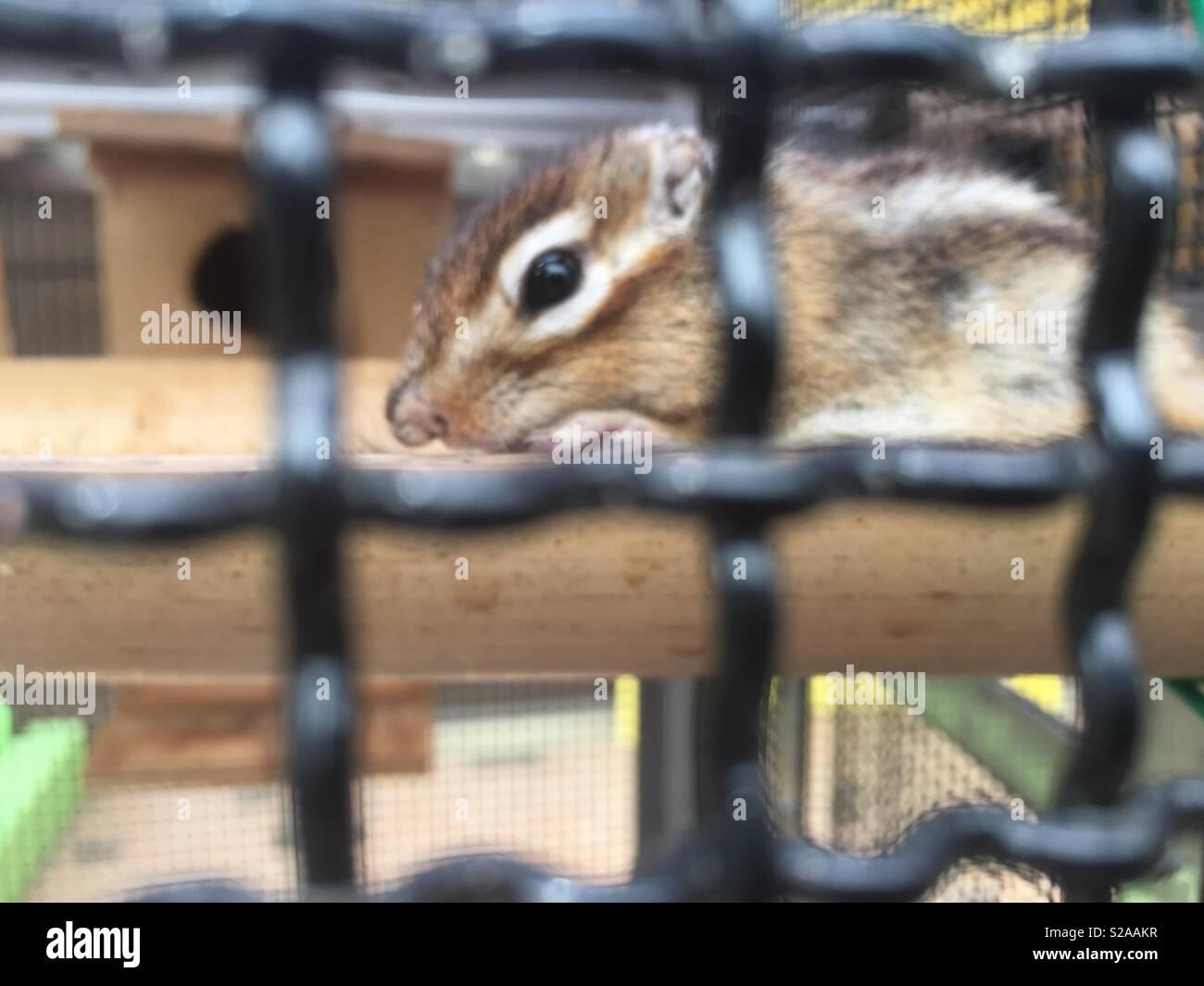 Caged Scoiattolo striado Immagini Stock