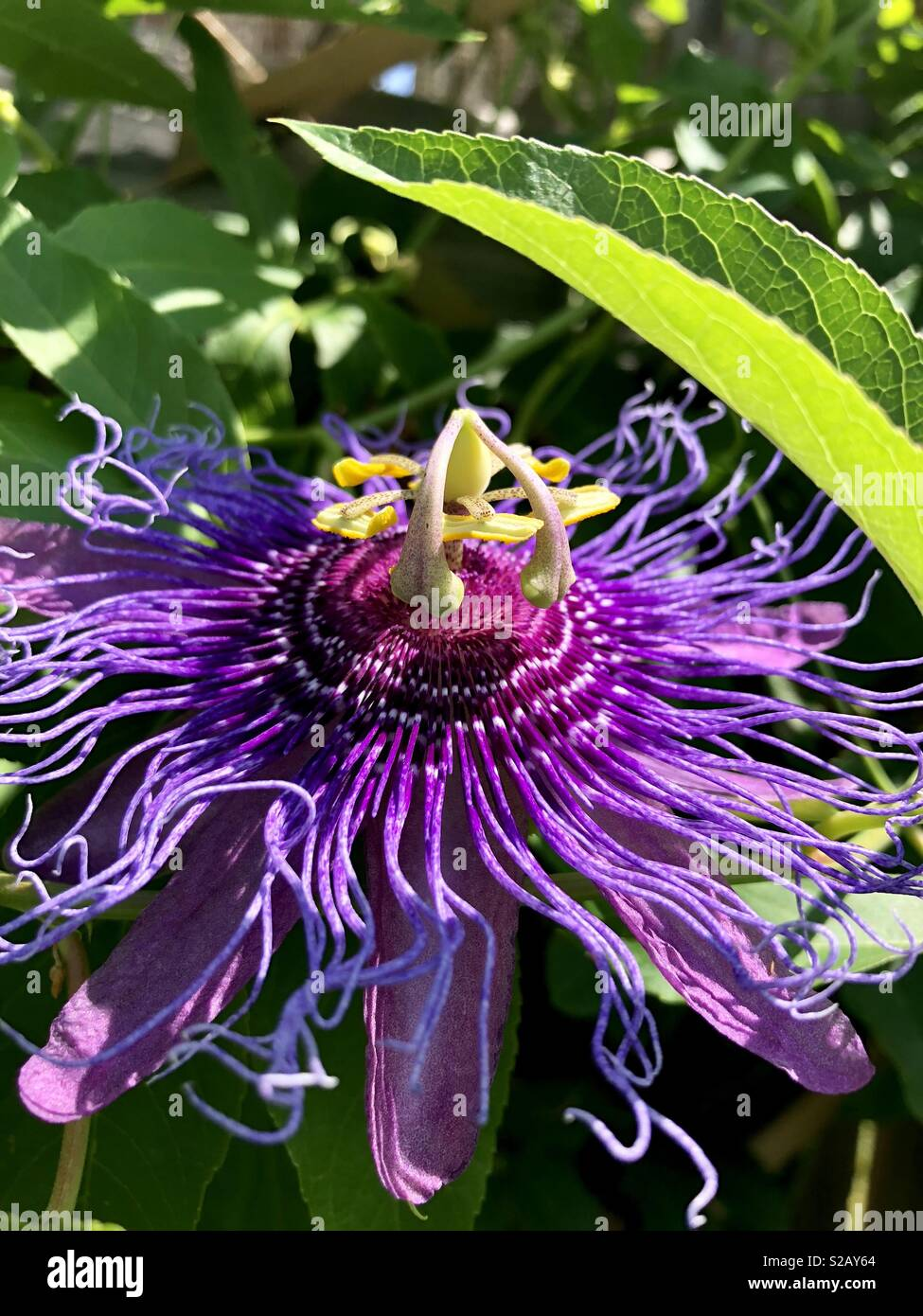 Passiflora viola Foto Stock
