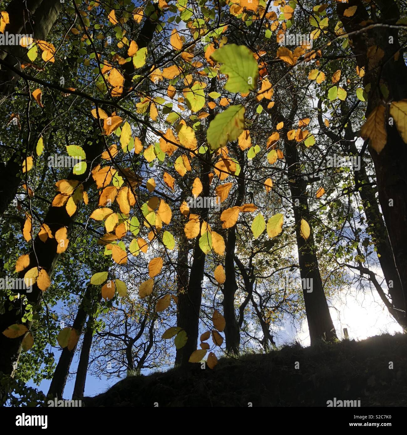 Foglie di autunno e silhouette di albero Foto Stock