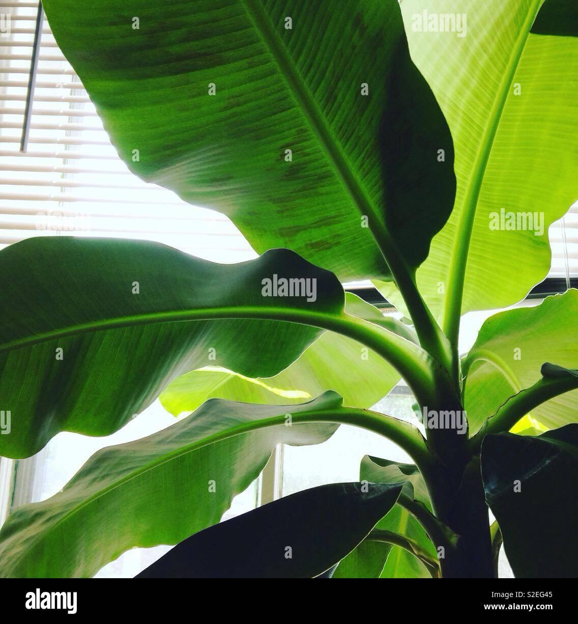 Piante Tropicali Da Interno banana foglie di palma, impianto indoor, piante da interni