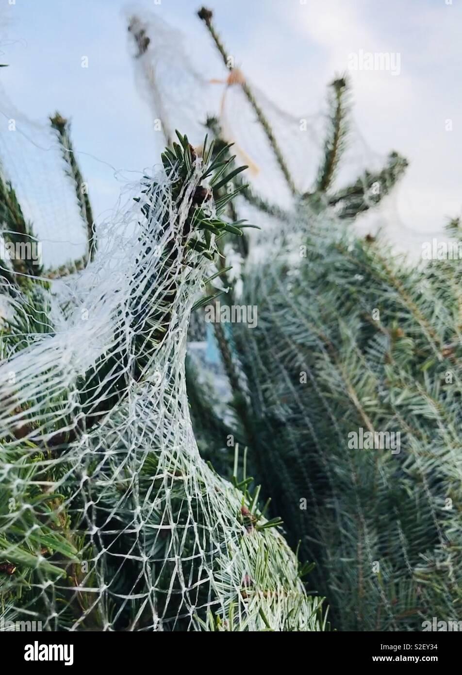 Alberi di Natale avvolto e pronto per portare a casa Foto Stock