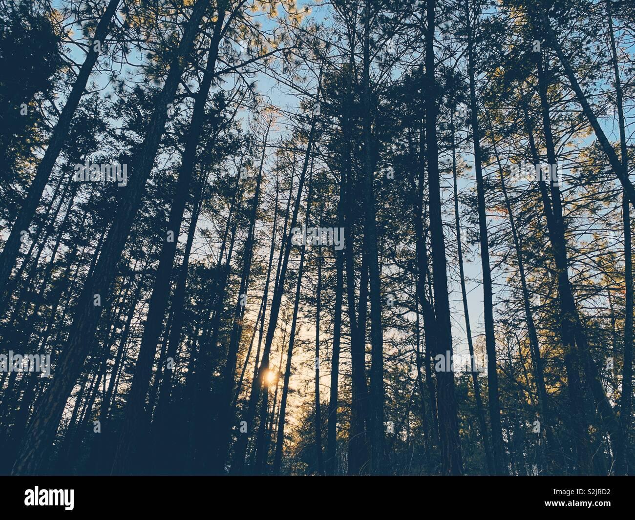 Tramonto attraverso gli alberi di una foresta sempreverde. Immagini Stock