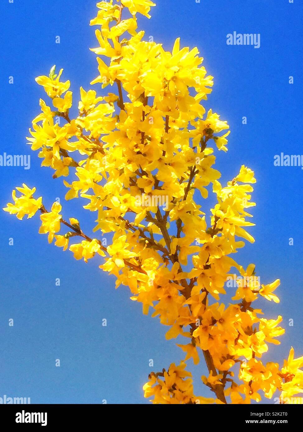 Pianta Fiori Gialli Primavera.Il Fiore Giallo Della Coltivazione Piante In Luce Del Sole Di