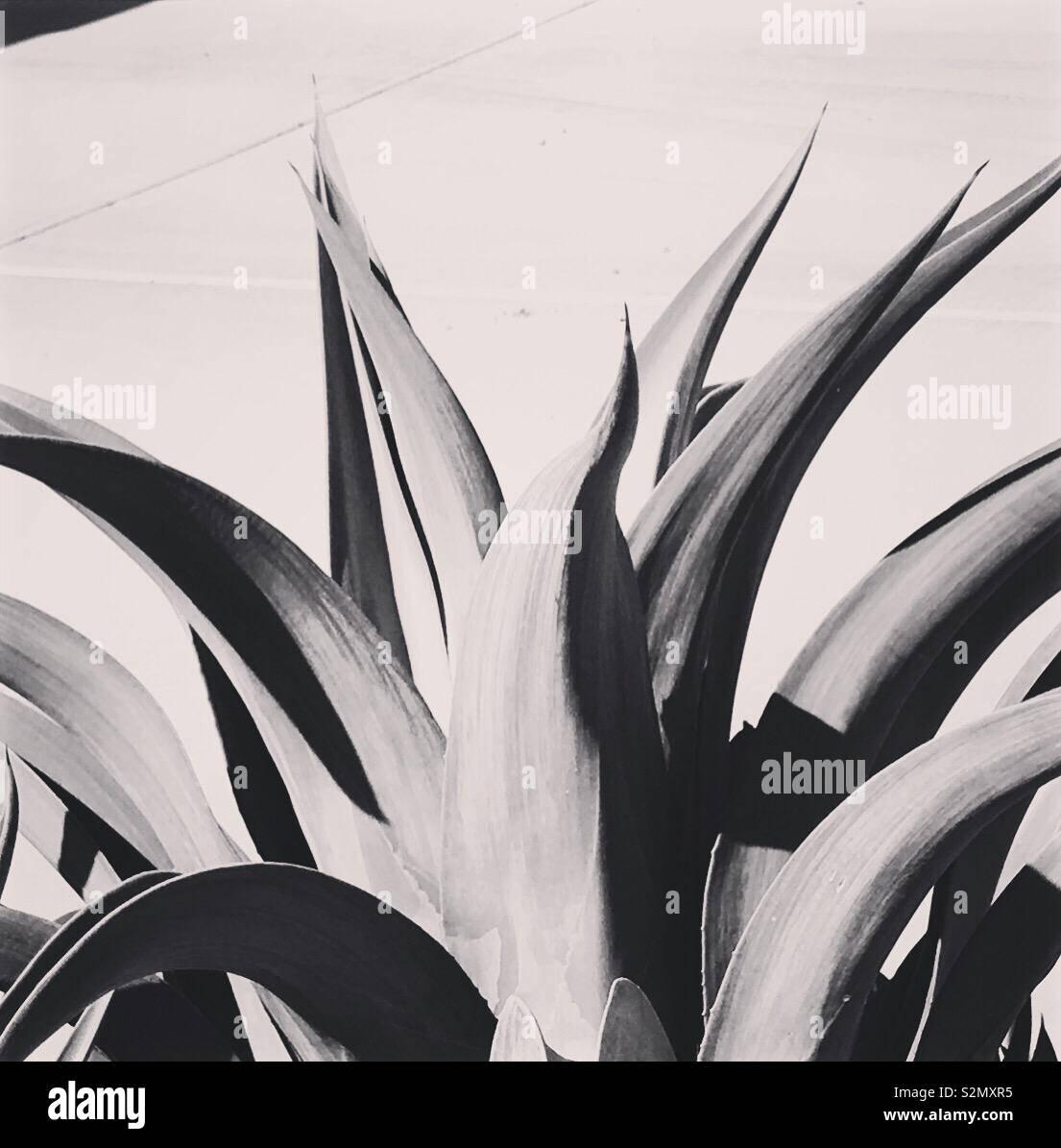 Agave cactus vicino, concentrandosi sulle linee e curve in bianco e nero. Foto Stock