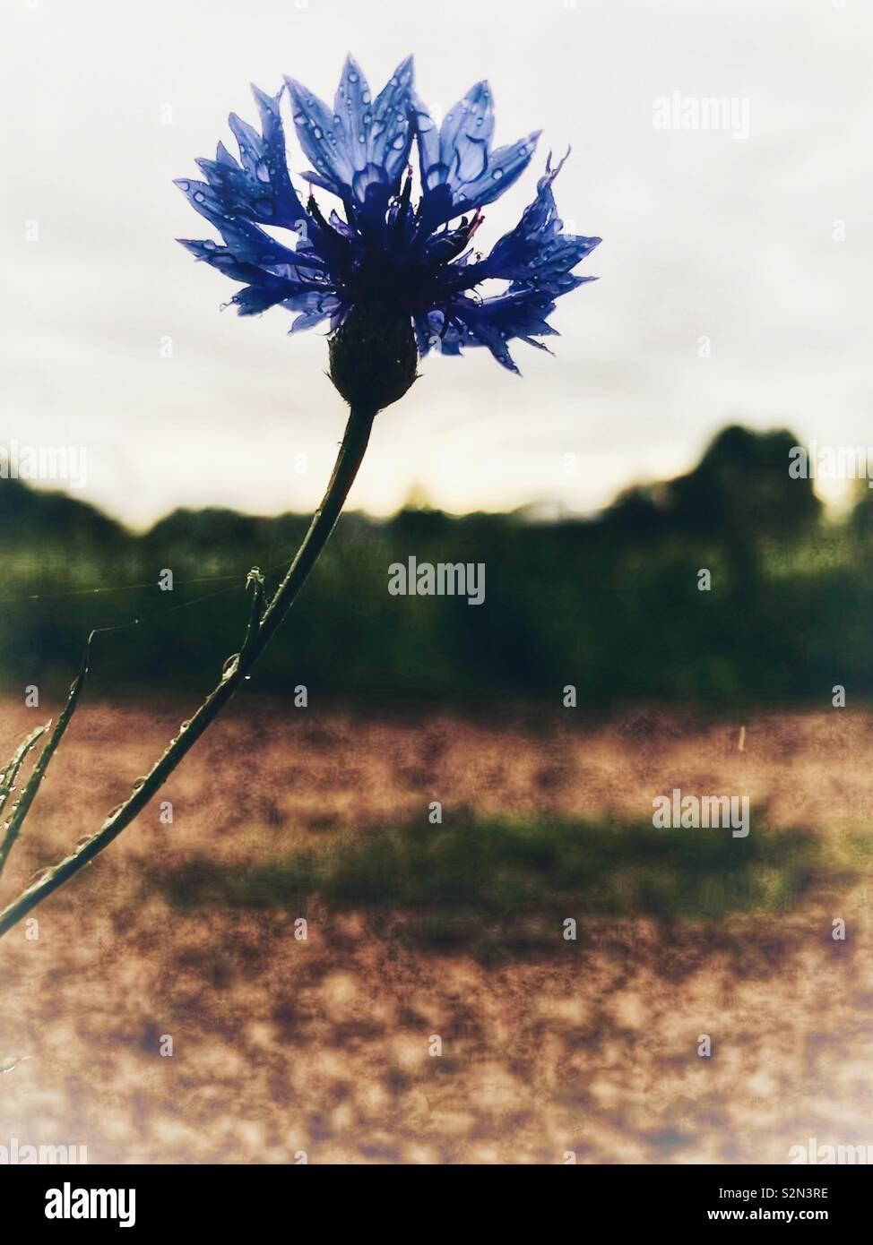 Corso di laurea di tasto del fiore con gocce di pioggia e sole di affievolimento in background Immagini Stock