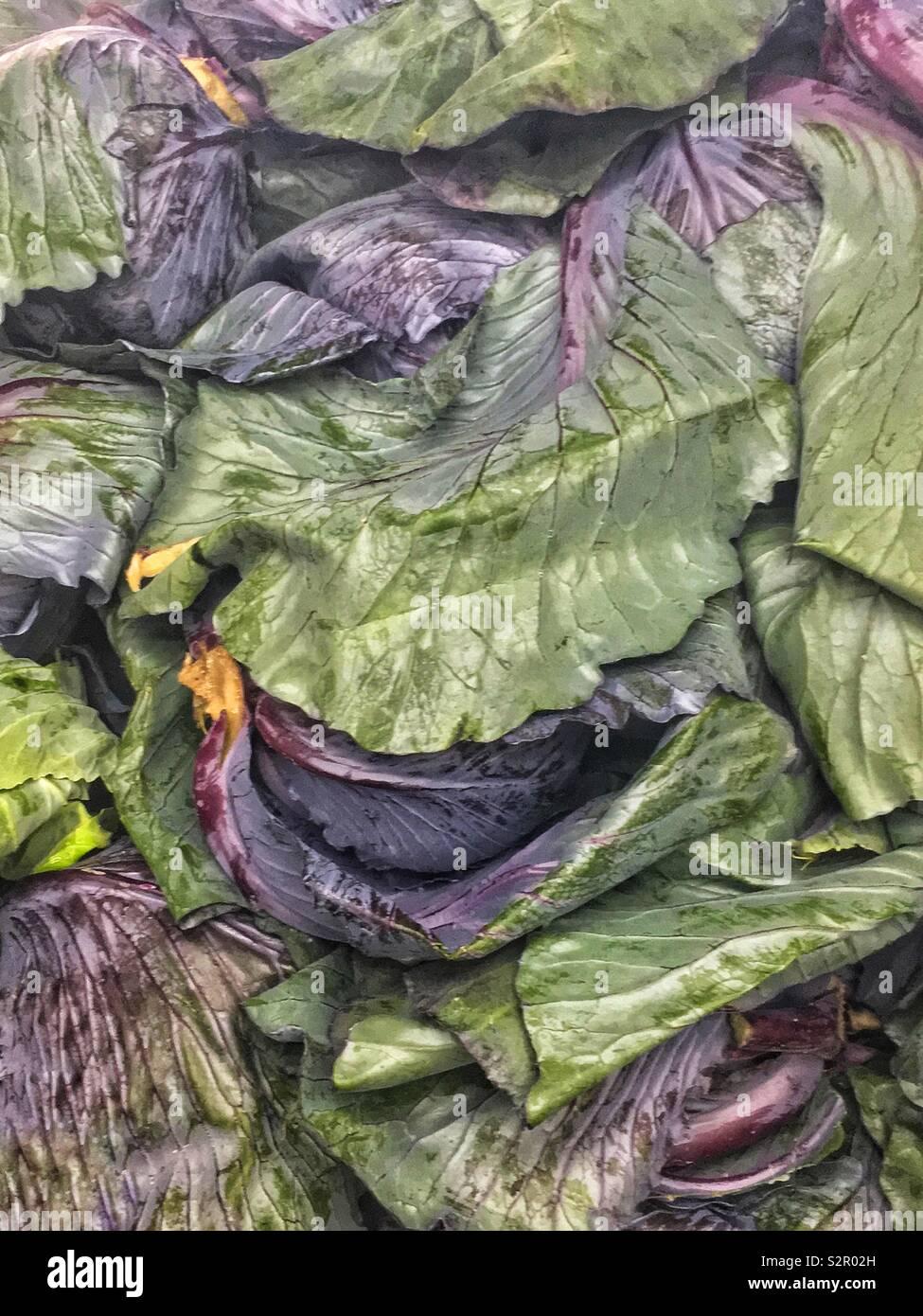 Telaio completo di deliziosi piatti freschi maturi cavolo rosso, Brassica oleracea, cavolo viola, rosso kraut o blu kraut foglie. Immagini Stock
