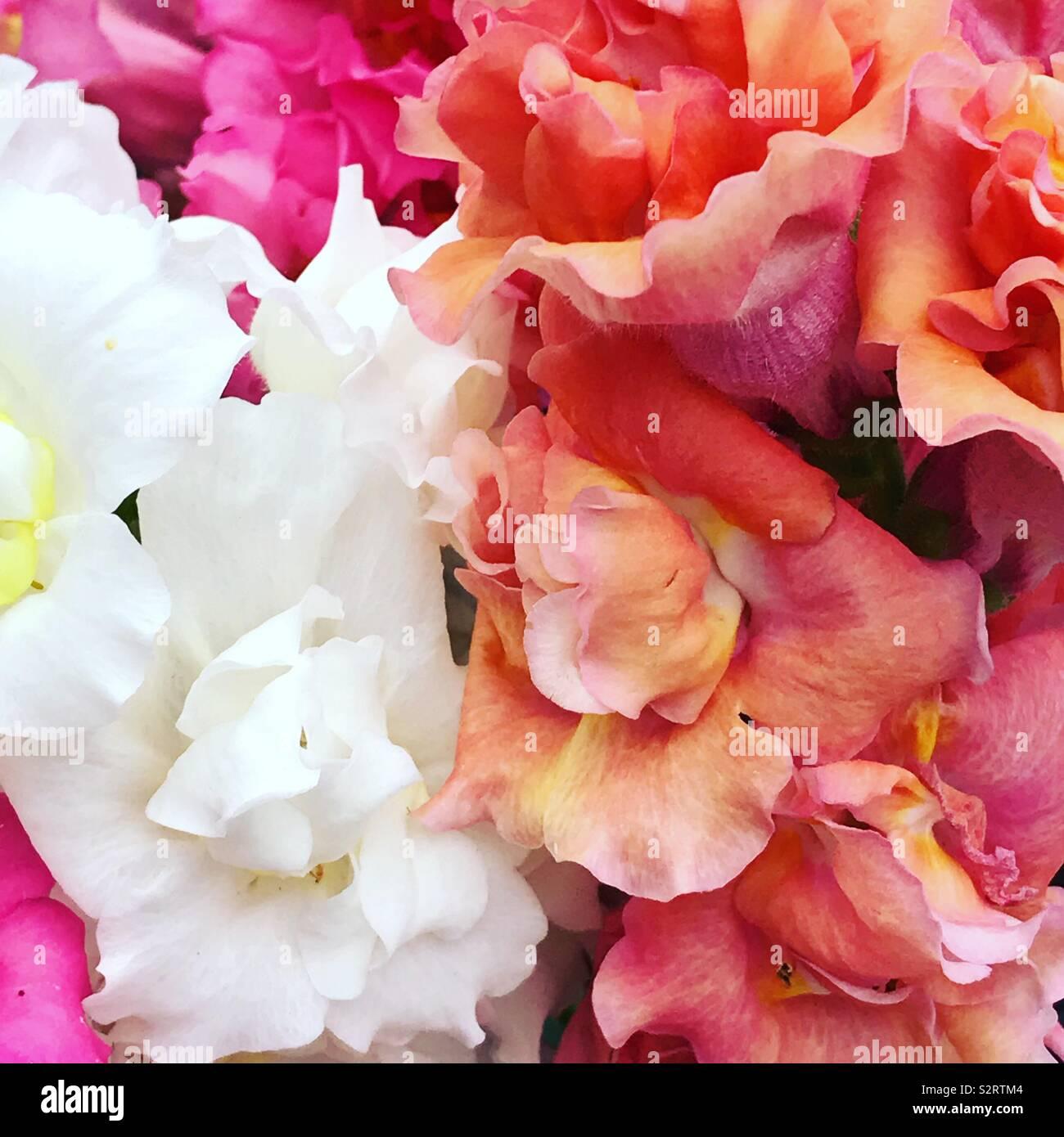 Una miriade di colori pastello dalle bocche di leone nel mio giardino Foto Stock