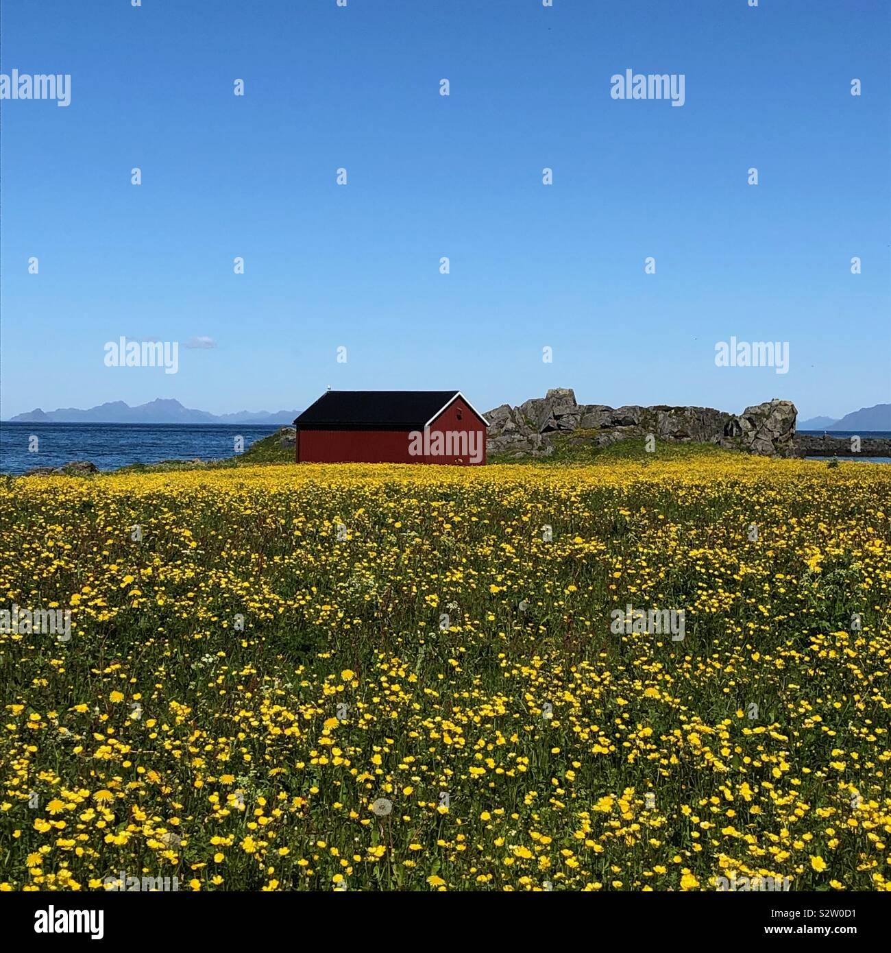 Campo di fiori, Hov, Isole Lofoten in Norvegia Foto Stock