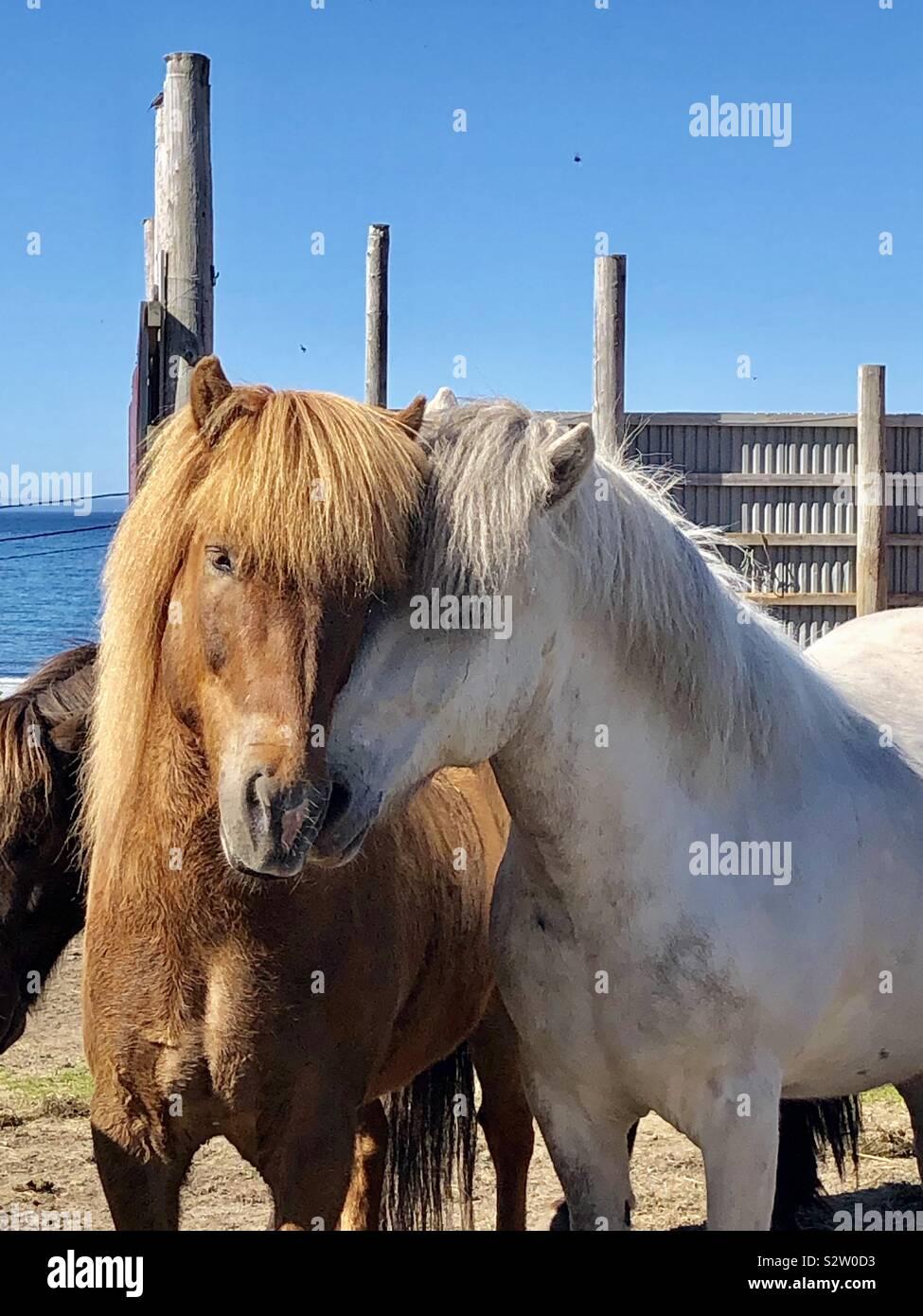 Cavallini islandesi, Hov, Isole Lofoten in Norvegia Foto Stock