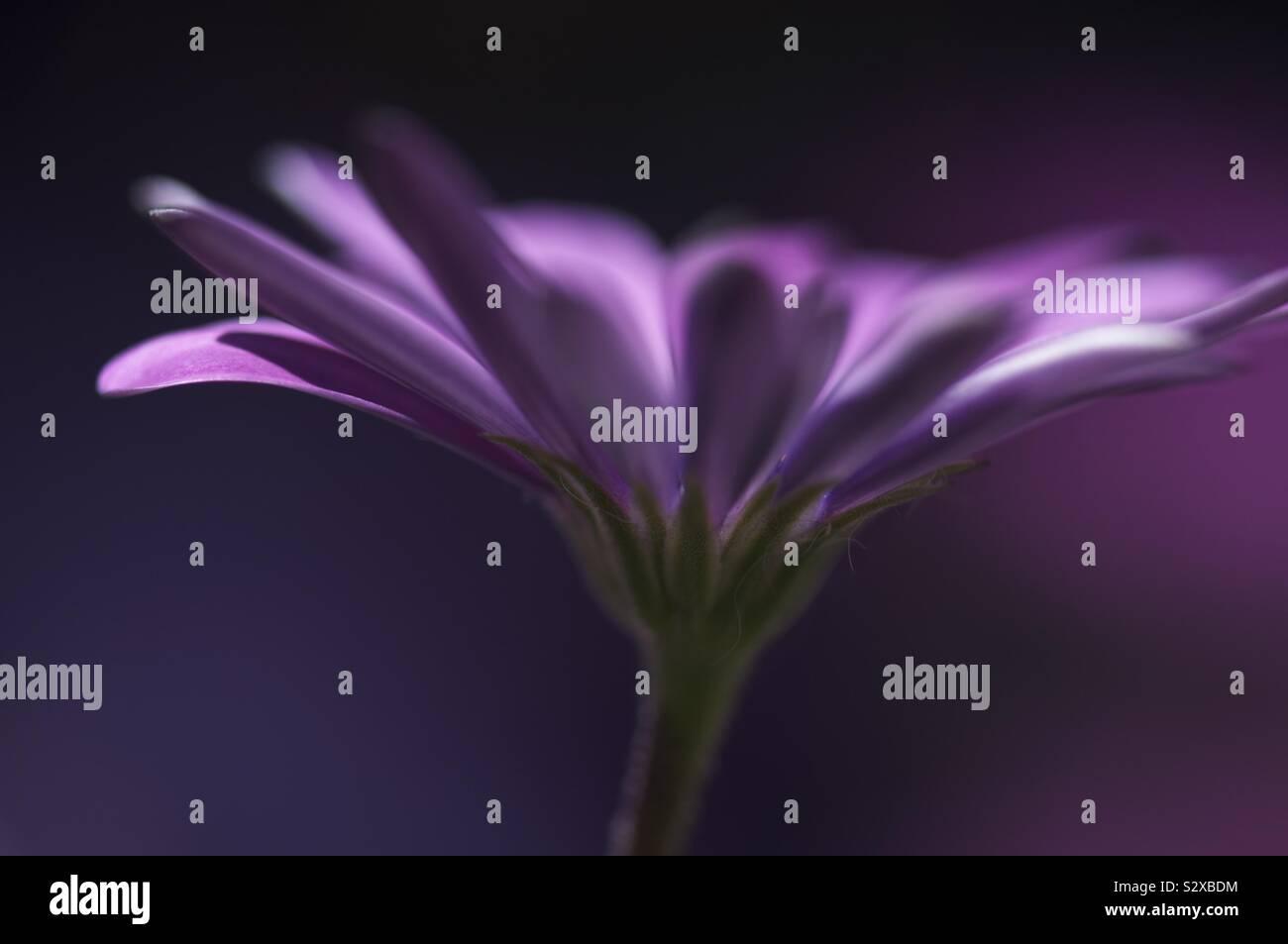 Petali viola su uno stelo di verde Foto Stock
