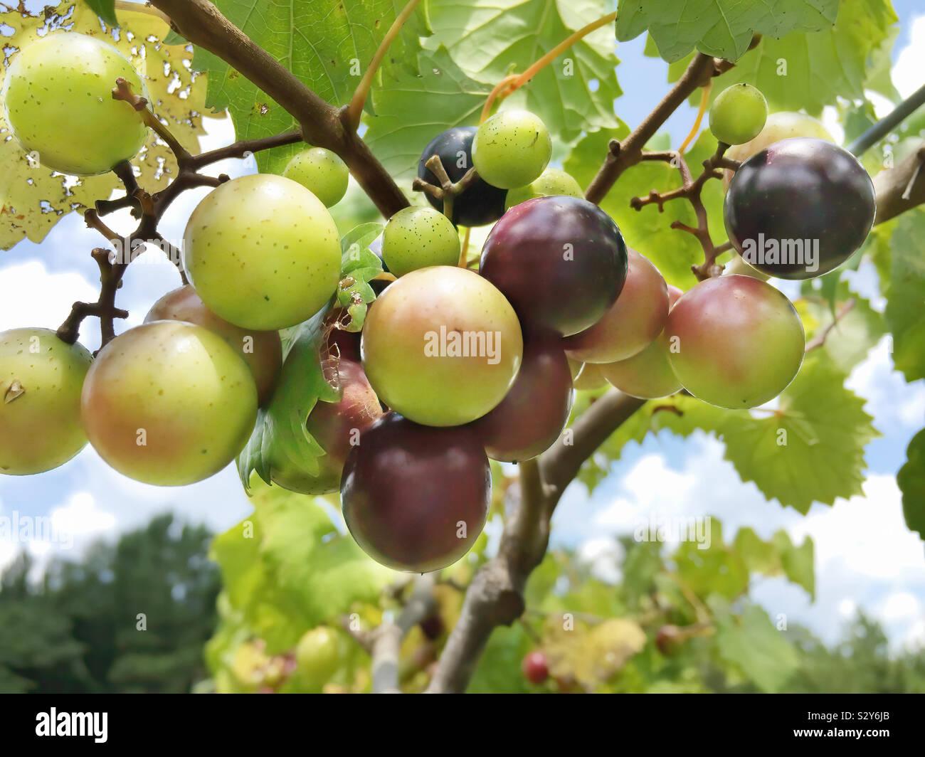 Moscato frutto la viticoltura in un vigneto in Warm Springs Georgia USA. La messa a fuoco in primo piano. Foto Stock