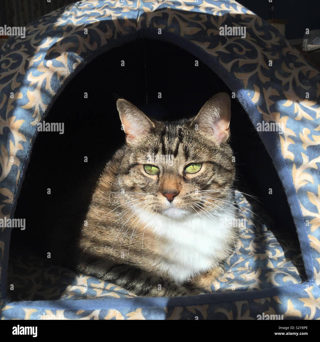 Un shorthaired tabby cat è rilassante in un letto di kitty mentre godendo la luminosa luce del sole caldo lo streaming attraverso la finestra nelle vicinanze. Foto Stock