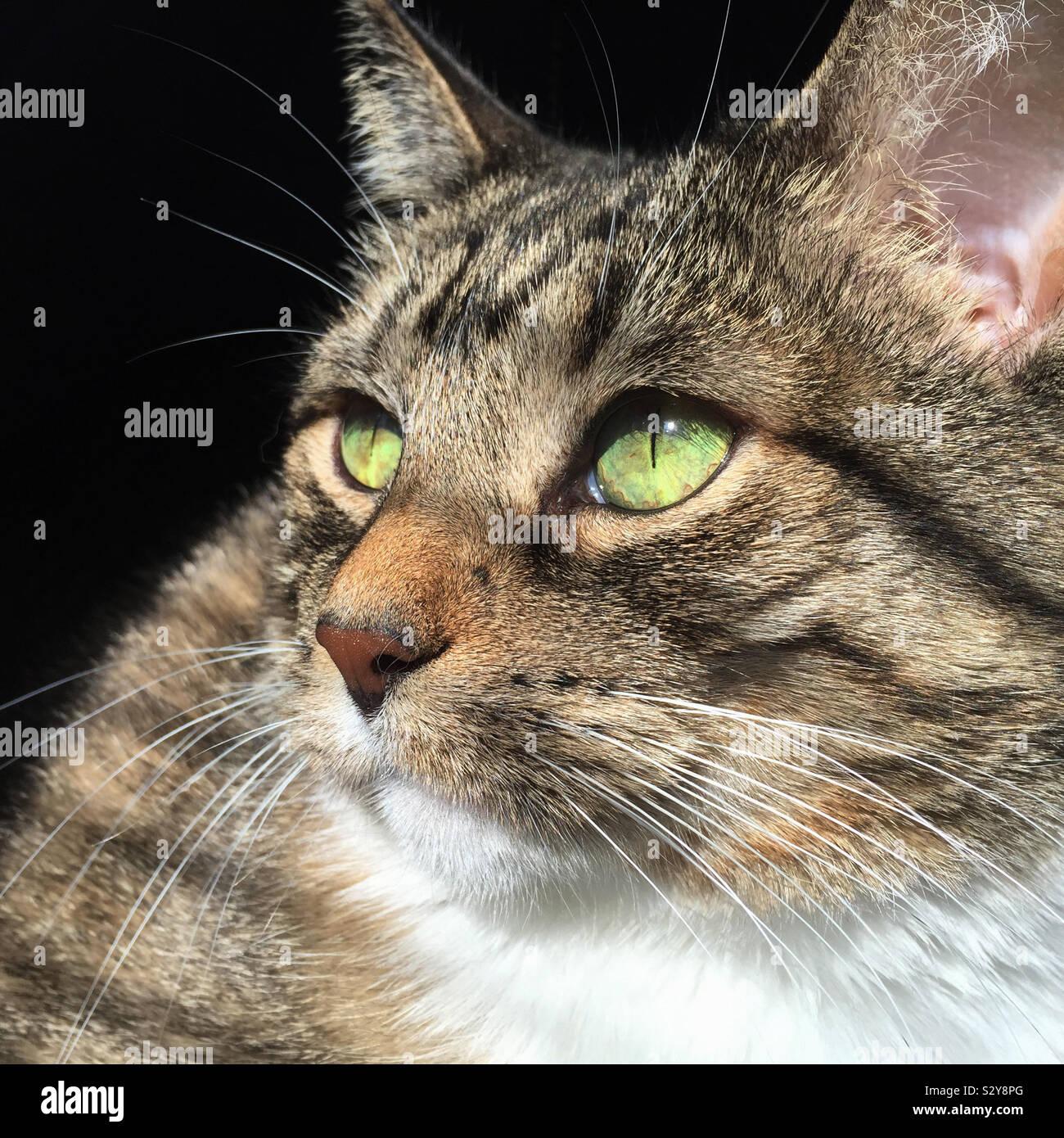 Una donna dai capelli corti di colore marrone tabby cat è godendo il suo tempo crogiolarsi nella luminosa calda luce del sole in streaming da una finestra nelle vicinanze. Foto Stock