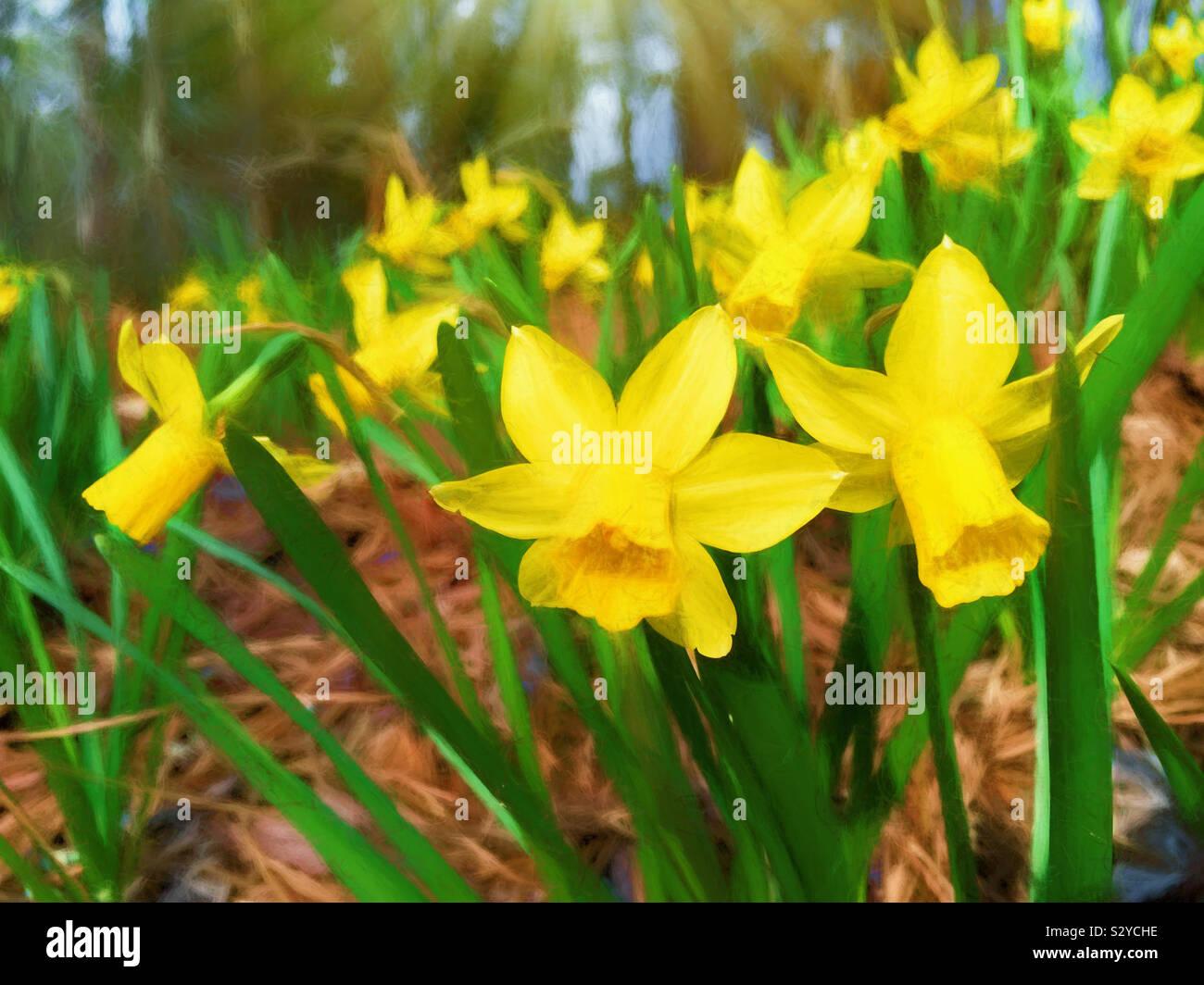 Un mazzetto di colorato in giallo daffodil fiori che sbocciano in un esterno informale area giardino. Questa immagine ha un effetto pittorica. Foto Stock