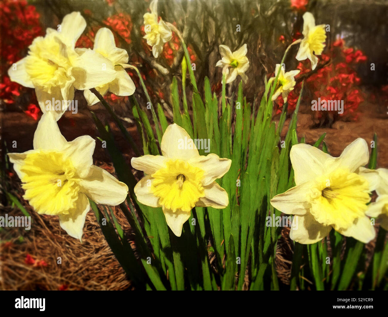 Un mazzetto di fiori daffodil in fiore in un esterno informale area giardino. Questa immagine ha una texture pittorica di effetto. Foto Stock