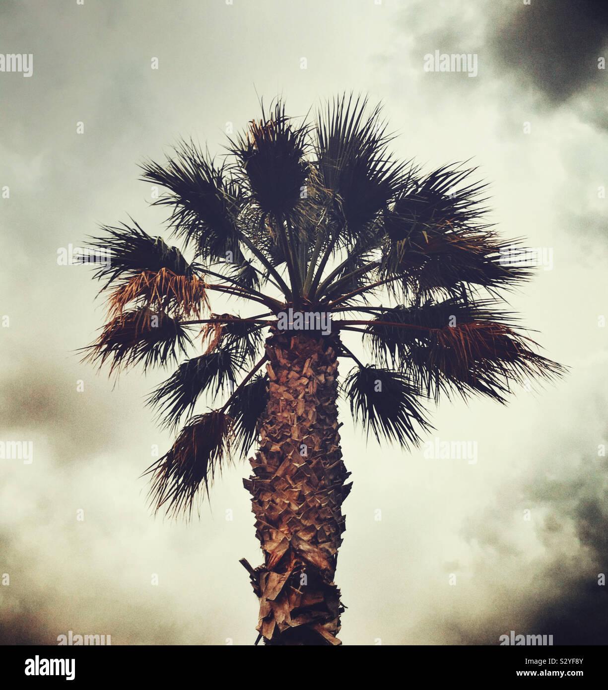 Un unico albero di palma Foto Stock