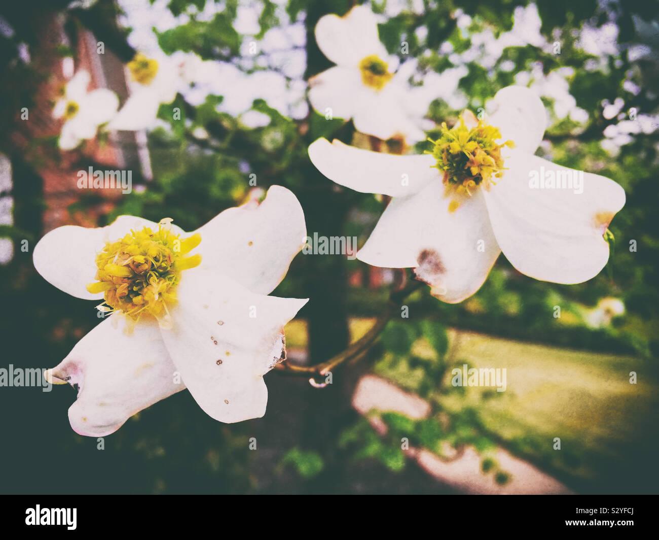 Corniolo fiori di albero in fiore in un giardino all'aperto. La messa a fuoco in primo piano. Arte digitale effetto testurizzato. Foto Stock
